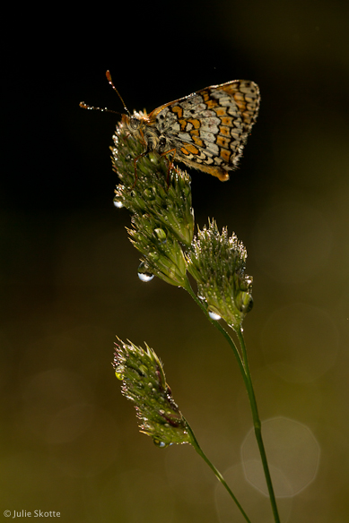 okkergul pletvinge (Melitaea cinxia)
