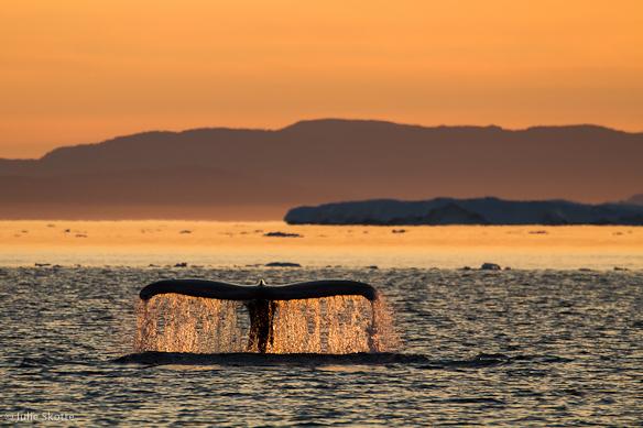 Pukkelhval i midnatssol, Grønland